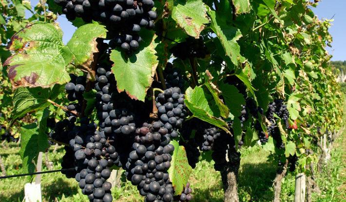 Губернатор Кубани выступил с инициативой о целевом закреплении земель под виноградники
