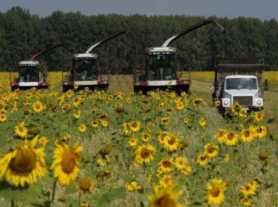 В Минсельхозе заявили о необходимости увеличения доли семян подсолнечника в российском семенном фонде