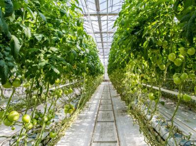 В Минсельхозе прогнозируют рекордный объем выращивания тепличных овощей