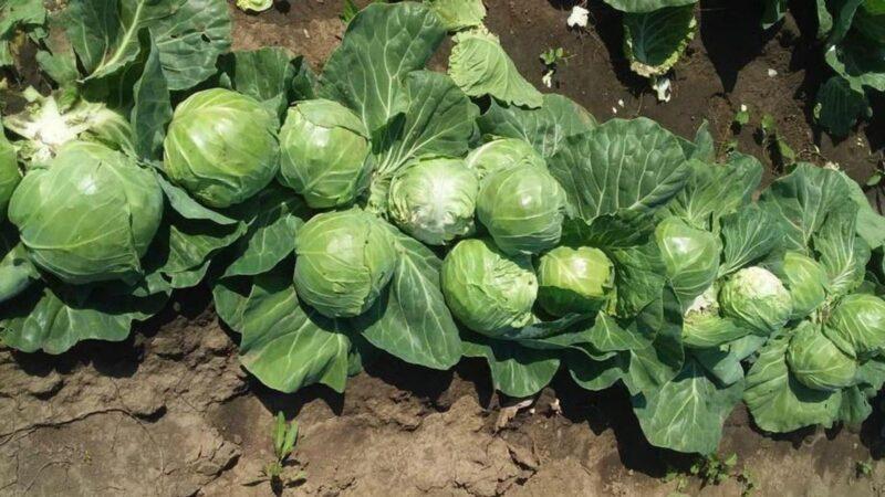 В Подмосковье фермеры собрали первые 120 тонн «кассетной» молодой капусты