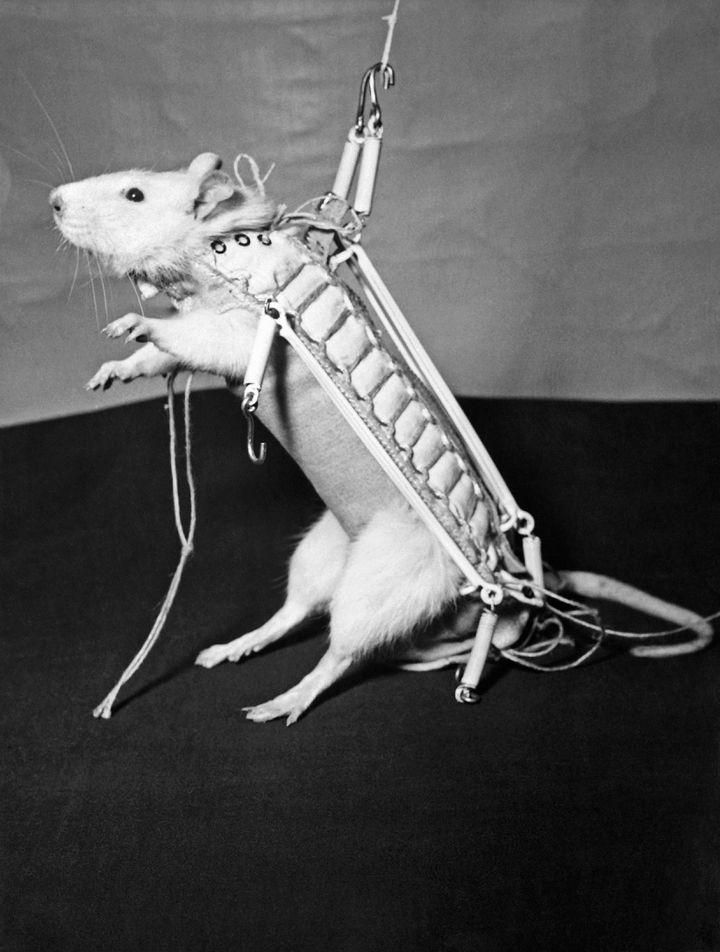 Il y a 60 ans, le CERMA faisait voler Hector, le premier « ratonaute »