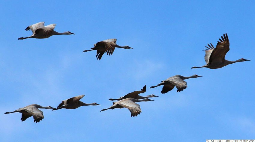 Siberian birds come to Nepal to escape harsh winter