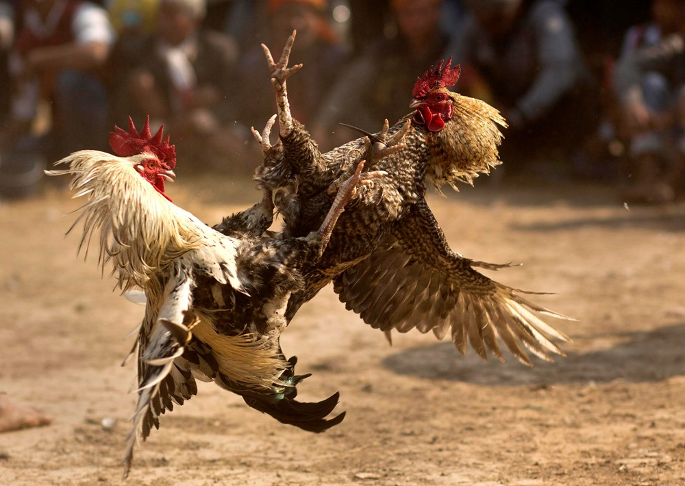 cock fight owner death