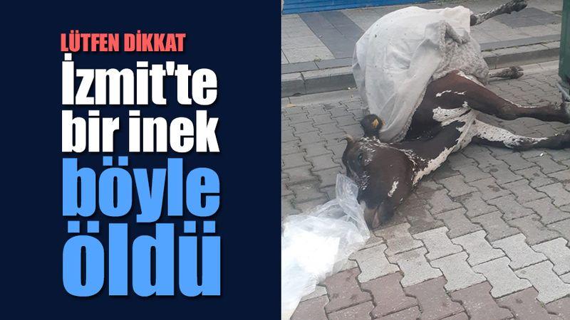 İzmit'in göbeğinde bir inek can çekişe çekişe öldü