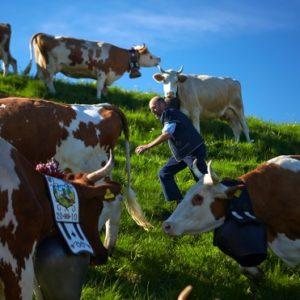 Швейцарские фермеры задумались об уменьшении размеров своих коров