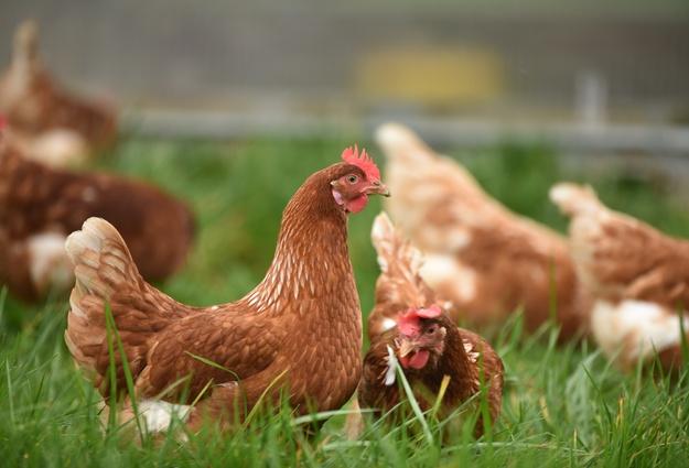 РФ демонстрирует позитивную динамику производства мяса птицы