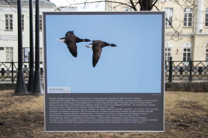 Краснокнижных птиц Арктики можно увидеть в Москве на фотовыставке до конца апреля