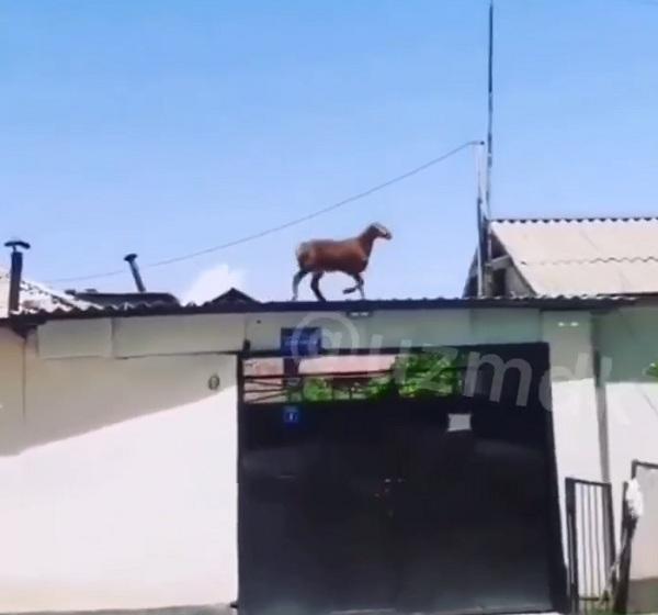 Побег века: баран против крыши