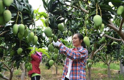 Манго и томаты стали двумя базовыми отраслями в районе Тяньян города Байсэ