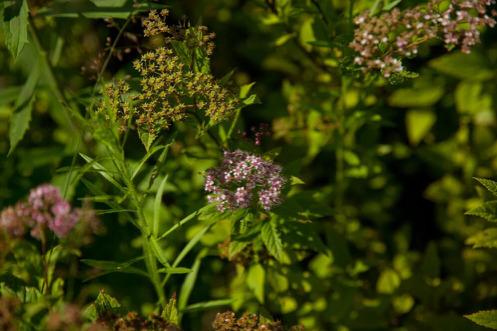 Питомник «Вершки & Корешки» производит наиболее популярные кустарники и хвойные растения