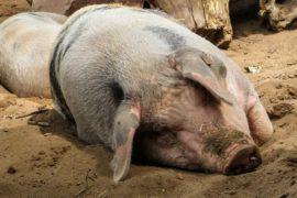 Четыре района Новгородской области закрыли на карантин из за африканской чумы свиней