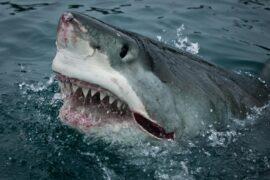 Ученые обнаружили необычную особенность в поведении белых акул