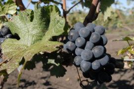 Ученые создали антигололедное средство из винограда