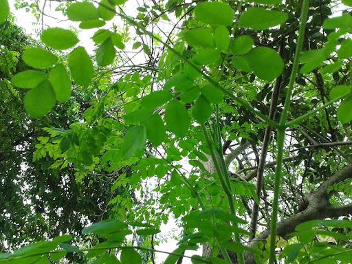 Moringa Oleifera Trees