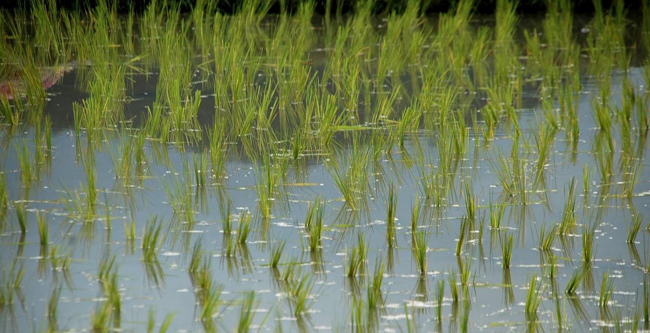 Wpływ gleby na szkodliwość ryżu