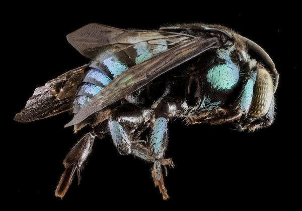 Вид сбоку пчелы Синей кукушки