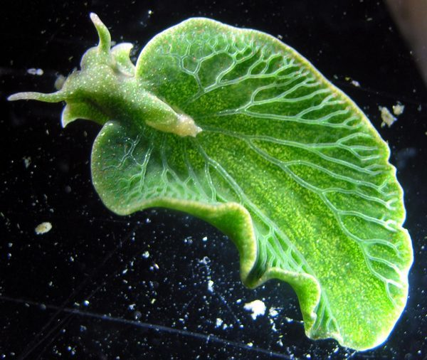 Перенос гена Морской слизняк