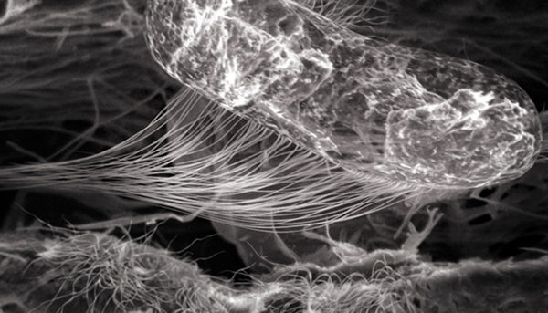 целюлоза под микроскопом