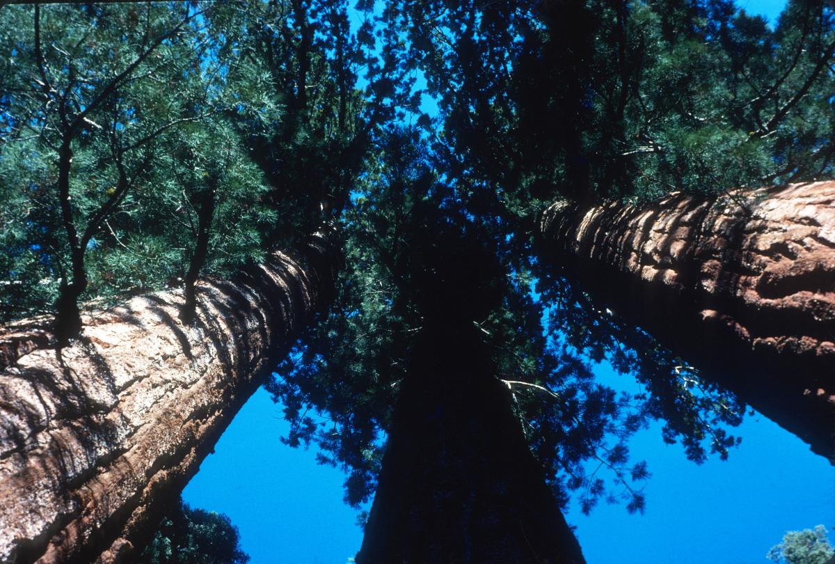 Yosemite, les séquoias géants.jpg