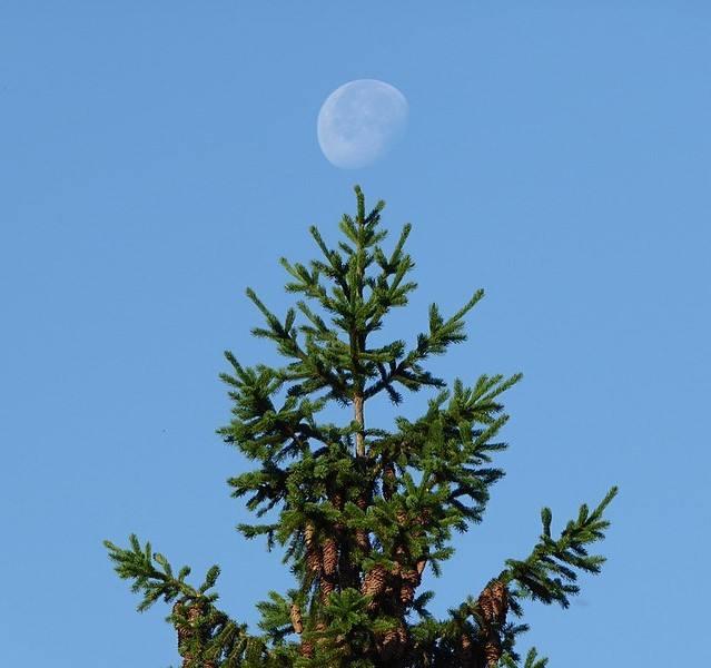 En France, Lune presque pleine, de jour, au sommet d'un conifère. Date 24 June 2016, 07:36:08