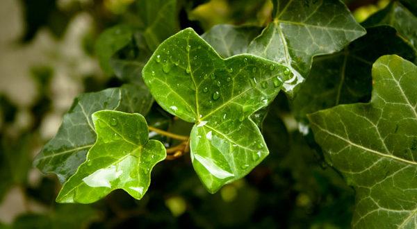 Piante che purificano l'aria: edera
