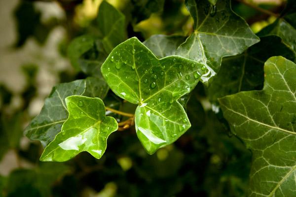 Le piante che purificano l 39 aria piante verdi casa naturale for Case ricoperte di edera