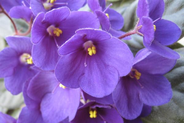 Piante che purificano l'aria: violetta africana