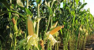 No Mais OGM in Italia
