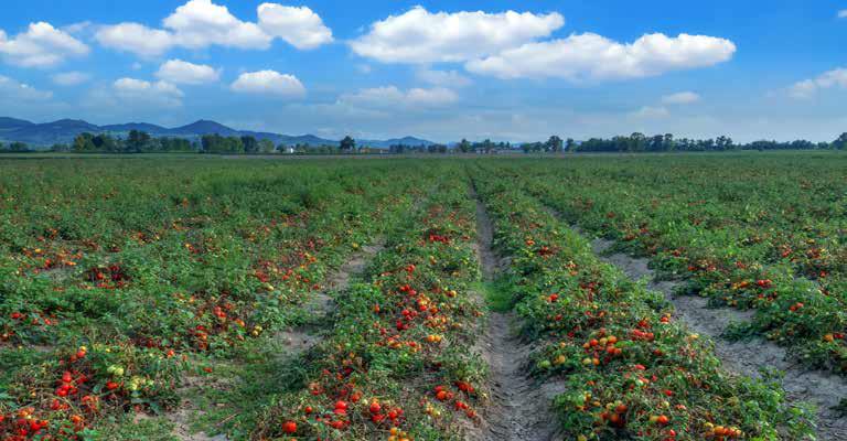 coltivazione pomodori resistenti alla siccità | Tomres