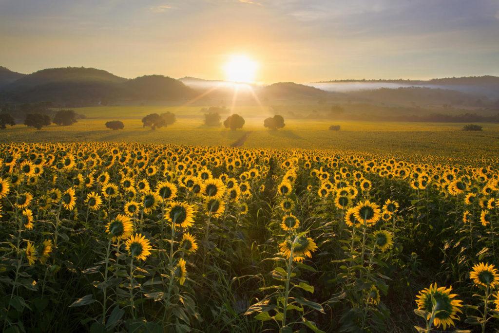 Girasoli alimentati dall'energia solare