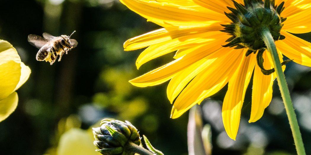 Le api impollinano i fiori e garantiscono la biodiversità