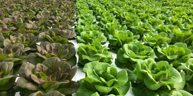serra idroponica | insalata | maremma