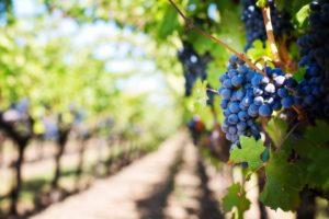 cheers | progetto di recupero feccia e scarti del vino | uva nella vigna | celle fotovoltaiche | energia