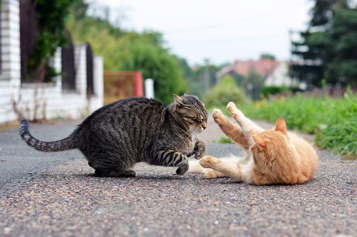 Aggressività tra gatti