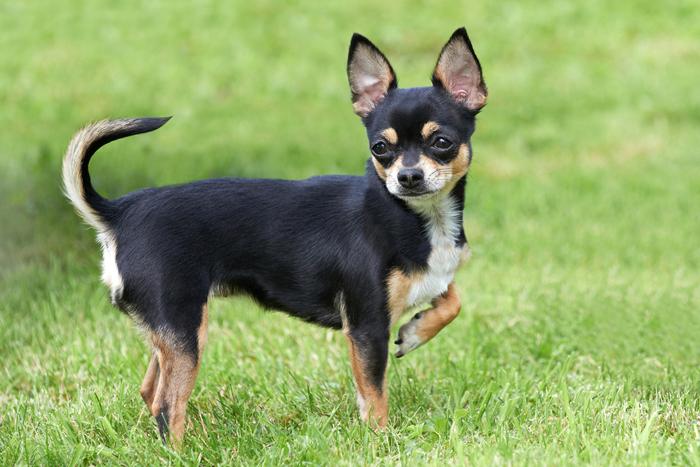 Chihuahua nel prato