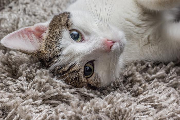 Gatto sul tappeto