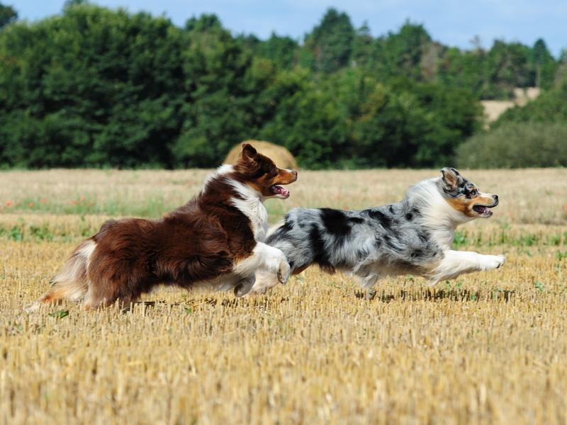 Australian Shepherd che corrono