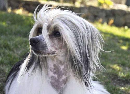 Chinese-crested-dog