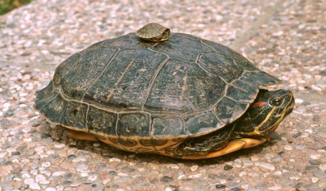 tartaruga acquatica archivi quattro zampe