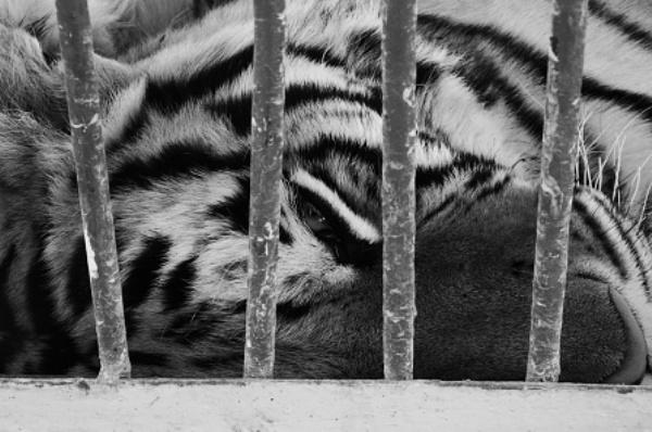 Tigre-in gabbia