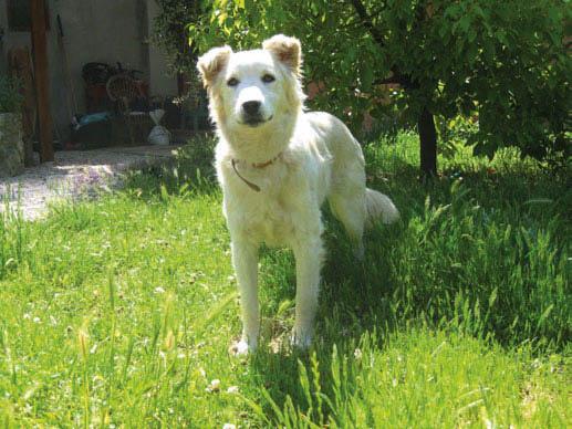 Taco, un cagnolone in adozione presso l'associazione Luna di Formaggio a Montelibretti