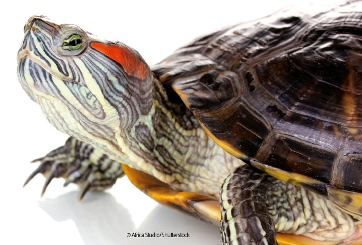 La tartaruga dalle orecchie rosse for Tartarughe razze