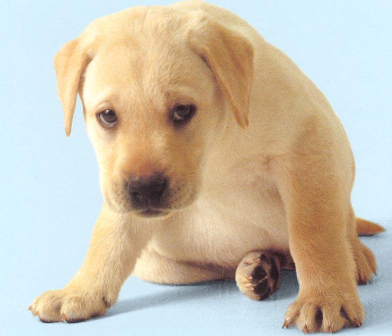 cucciolo-labrador