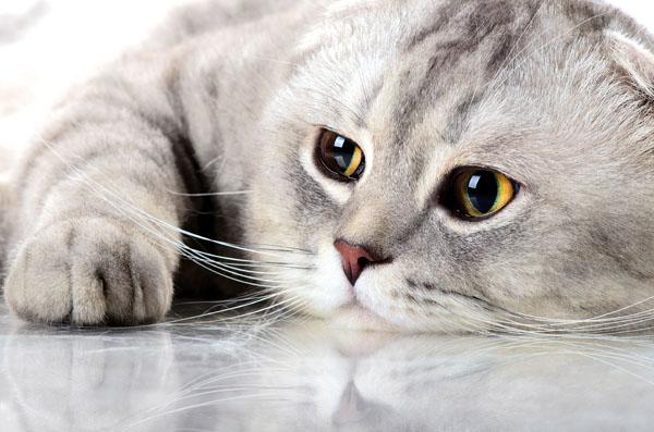 costo della chirurgia del gatto per blocco urinario