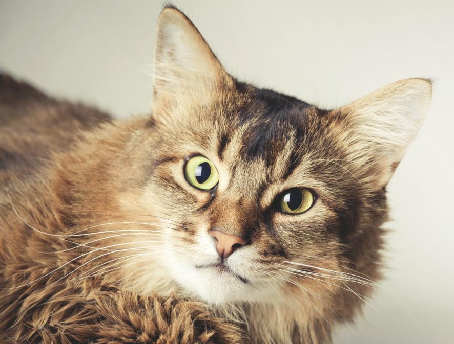 gatto-somalo