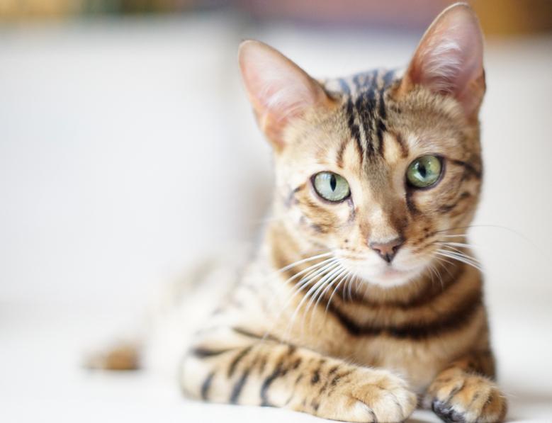 pulizia-orecchie-gatto