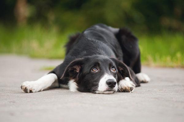 cane-diffidente