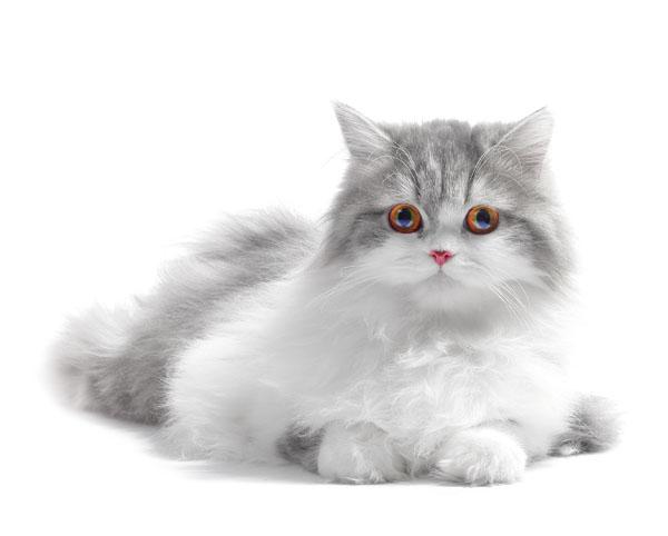 gatto-a-pelo-lungo