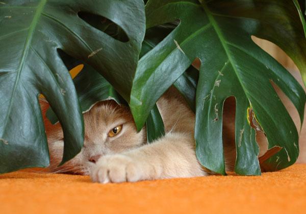 agguato-gatto
