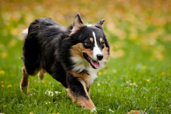 condizione-corporea-cane
